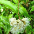 Aniseseed Myrtle Essential Oil