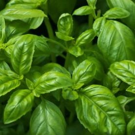 Basil, Sweet Organic Hydrosol