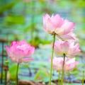 Pink Lotus Full Moon Essential Oil Blend