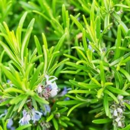Rosemary Antioxidant Co2