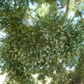 White Cypress Essential Oil - Cleaning