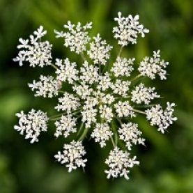 Wild Carrot Seed Organic Hydrosol
