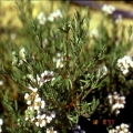 Chamomile, Cape Essential Oil