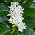 Coffee Flower Infused Jojoba