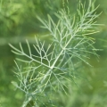 Dill Seed Essential Oil