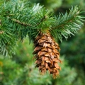 Engelmann Spruce/Douglas Fir Essential Oil Co-distill