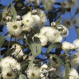 Eucalyptus globulus Essential Oil - Unrefined (Crude)