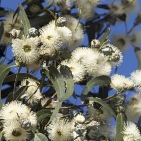 Eucalyptus globulus Organic Hydrosol