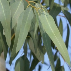 Eucalyptus smithii Essential Oil