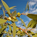 Eucalyptus dives (Mint) Essential Oil