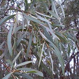 Eucalyptus polybractea Essential Oil