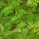 Fir Giant Essential Oil - France