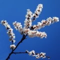 Apricot Blossom Flower Essence