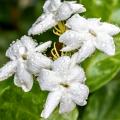 Jasmine Sambac Flower Essence