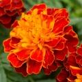 Marigold (Tagetes) Flower Essence
