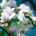 Apple Blossom Flower Essence
