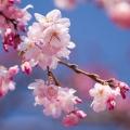 Cherry Plum Blossom Flower Essence