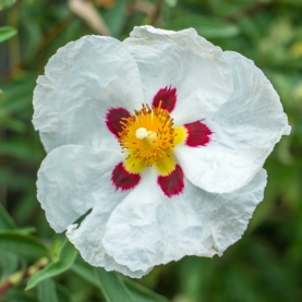 Cistus (Rock Rose) Flower Essence