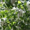 Balsam Poplar Flower Essence