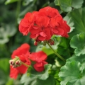 Geranium Flower Essence