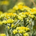 Helichrysum Flower Essence