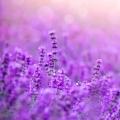 Lavender Flower Essence