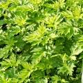 Mugwort (Wormwood) Flower Essence