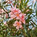 Oleander Flower Essence