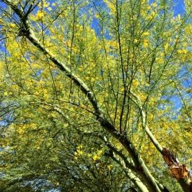 palo verde flower essence stillpoint aromatics
