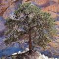 Pinon Pine Flower Essence