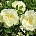 White Rose Flower Essence