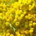 Helichrysum Italicum Essential Oil Albania