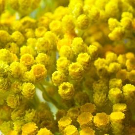 Helichrysum arenarium Infused Oil, Organic