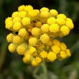 Helichrysum italicum Infused Oil, Organic