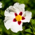 Cistus (Rock Rose) Organic Hydrosol