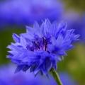 Cornflower Organic Hydrosol