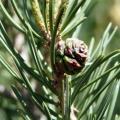 Pinon Pinecone Essential Oil - Utah