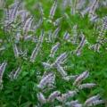 Mint Medley Organic Hydrosol