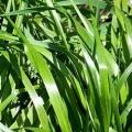 Sweetgrass Hydrosol