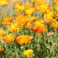 Calendula officinalis Infused Oil (Organic)