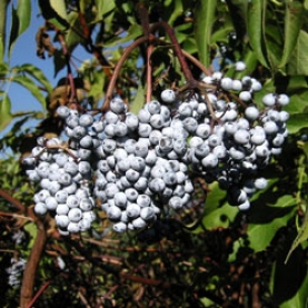 Elderberry Organic Hydrosol