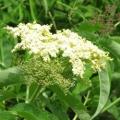 Elderflower CO2 Extract Select