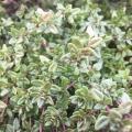 English Thyme Organic Hydrosol ct thymol