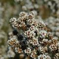 Fragonia Hydrosol