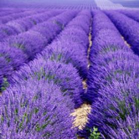 Lavender Organic Hydrosol