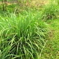 Lemongrass Wild Crafted Hydrosol Hawaii