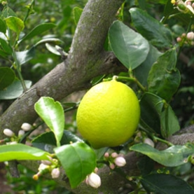 Lime Organic Hydrosol