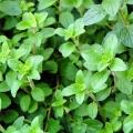 Oregano Organic Hydrosol