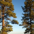 Ponderosa Pine Organic Hydrosol