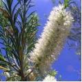 Rosalina Wild Harvested Hydrosol